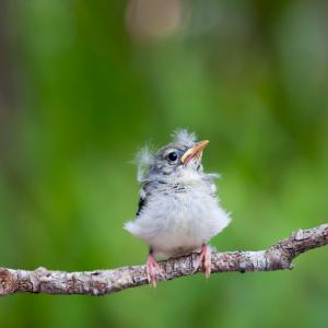 bébé oiseau oisillon